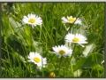 bmr-gallery-summer-daisy.jpg